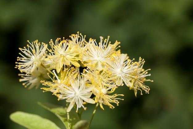 Flores amarelas de tílias, fotografadas de perto durante a floração