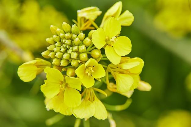 Flores amarelas desabrochando na floresta no início da primavera, tiro macro.