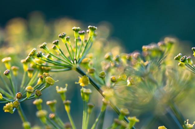 Flores amarelas do aneto (graveolens do anethum) que crescem em um jardim.
