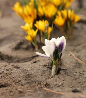 Flores amarelas e brancas de açafrão no jardim