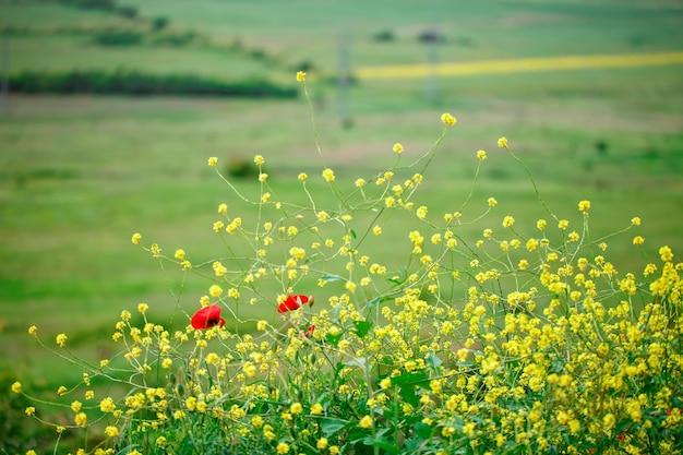 Flores amarelas e papoilas vermelhas no campo.