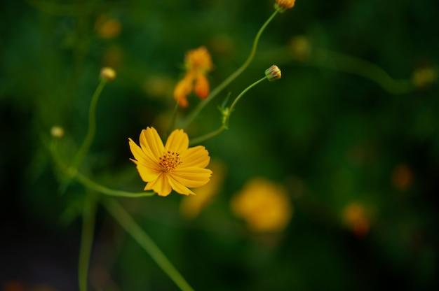 Flores amarelas em um belo jardim de flores, close-up com bokeh
