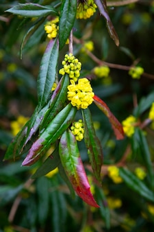 Flores amarelas em um galho verde com gotas de chuva. início da primavera.
