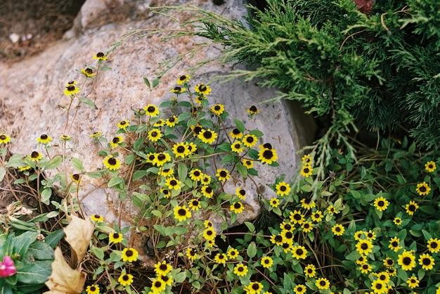 Flores amarelas em uma pedra no jardim