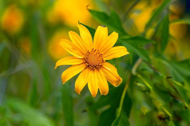 Flores amarelas estão florescendo de manhã.