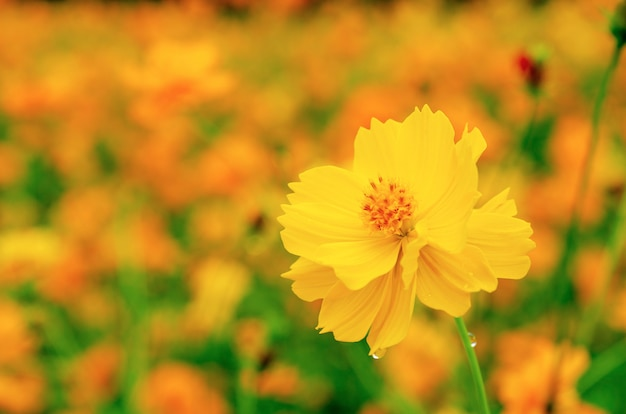 Flores amarelas fechem fundo, motivos turva