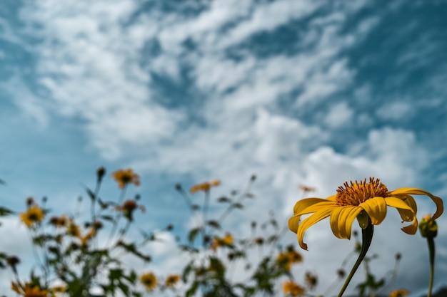 Flores amarelas (girassol mexicano) com fundo do céu azul.