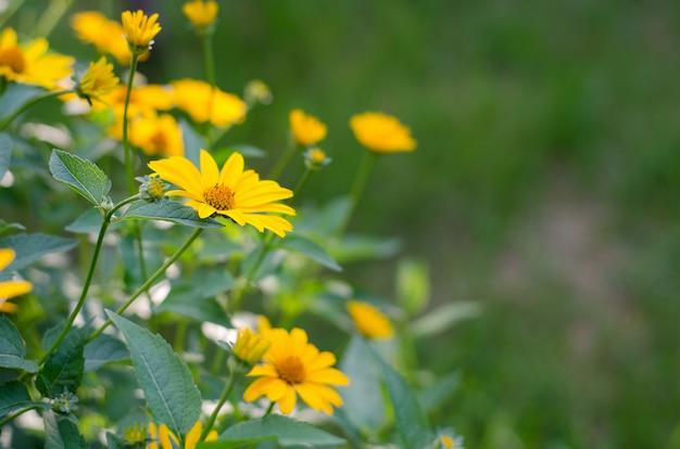 Flores amarelas, heliopsis helianthoides