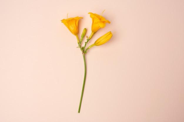 Flores amarelas hemerocallis em um fundo bege