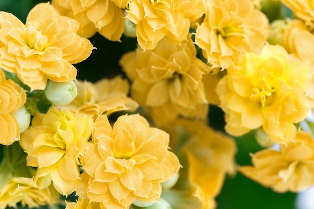 Flores amarelas kalanchoe