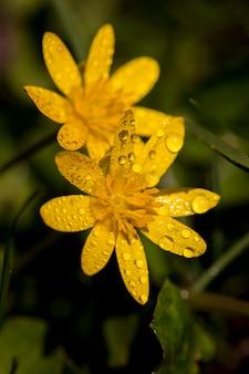 Flores amarelas na primavera no jardim e orvalho