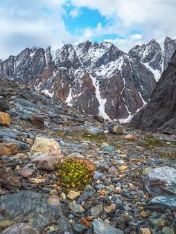 Flores amarelas perfumadas incríveis crescem no penhasco entre as rochas perto do close-up da geleira. vegetação pobre das terras altas. flora da montanha.