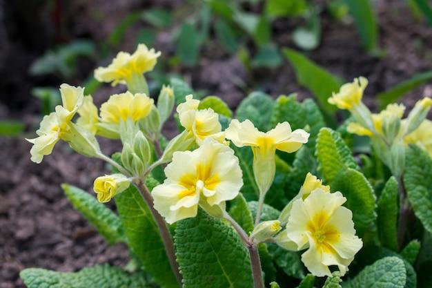 Flores amarelas primroses (primula vulgaris)