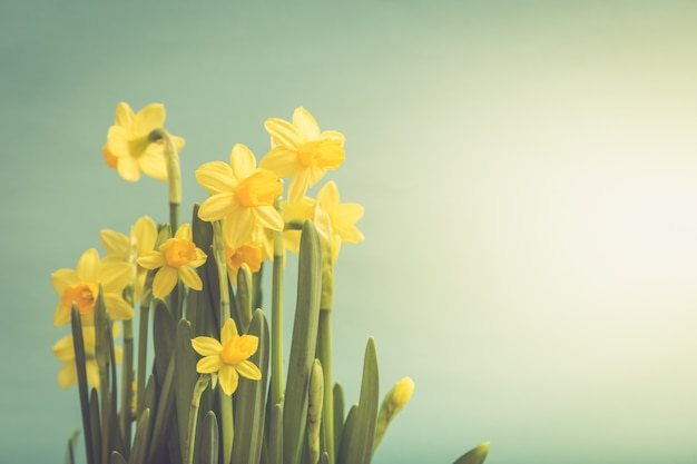 Flores amarelas surpreendentes dos narcisos amarelos na cesta. imagem para fundo de primavera