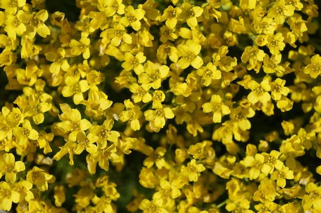 Flores amarelas. tapete vivo de plantas amarelas. jardim paisagismo decorativo parcelas, reprodução de plantas ornamentais.