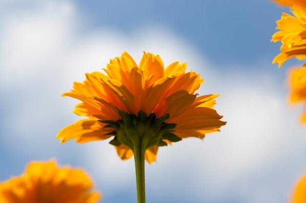 Flores amarelo-laranja no verão, plantas com flores decorativas no jardim