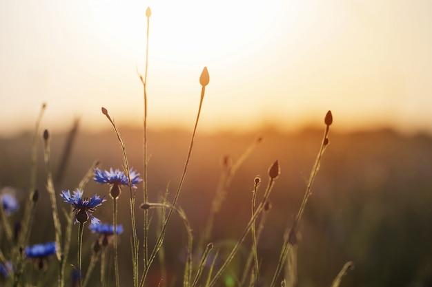 Flores azuis no campo de trigo ao pôr do sol