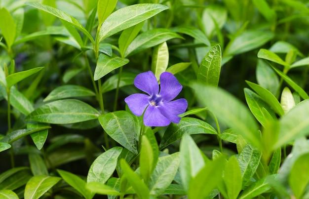Flores azuis pervinca na folhagem verde