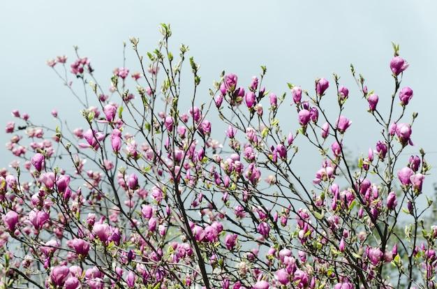 Flores bonitas da árvore da magnólia na primavera.