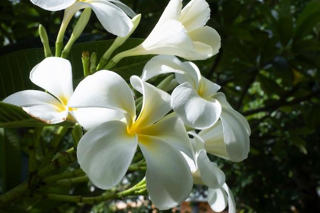 Flores bonitas de plumeria branca na árvore