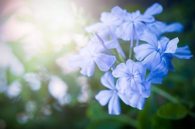 Flores bonitas do leadwort do cabo no jardim,