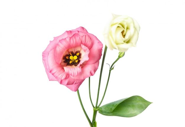Flores bonitas eustoma isoladas no branco