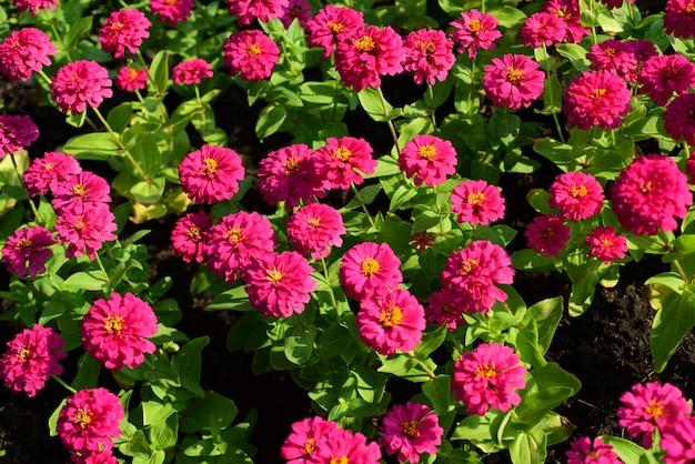 Flores brancas cor-de-rosa com as folhas no fundo.