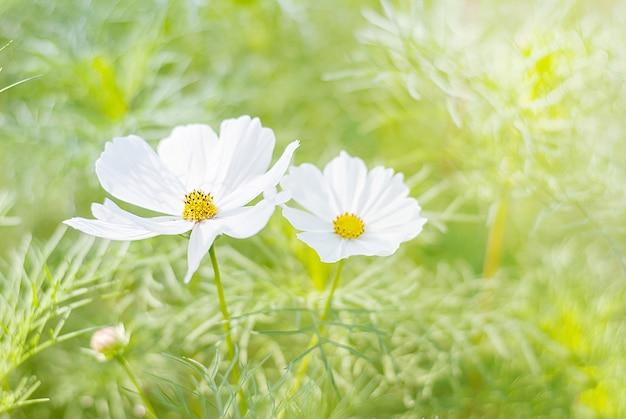 Flores brancas cosmos em florescendo na agricultura com fundo desfocado, as flores cosmos