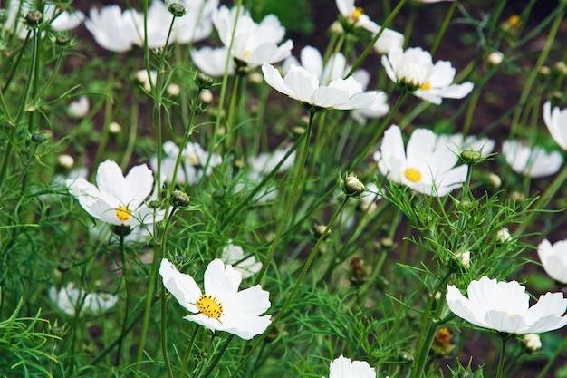 Flores brancas cosmos florescendo no jardim