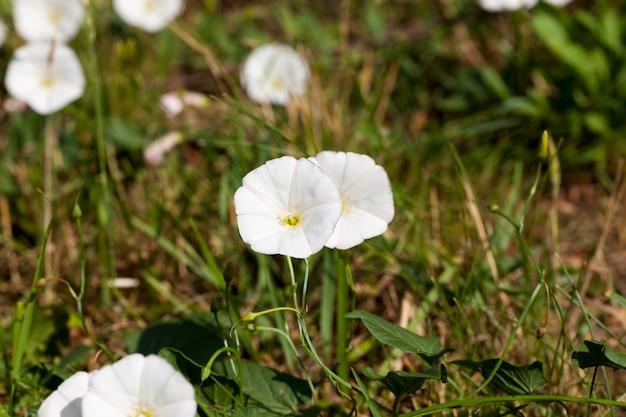 Flores brancas crescendo na primavera e no verão, flores brancas selvagens no campo na grama