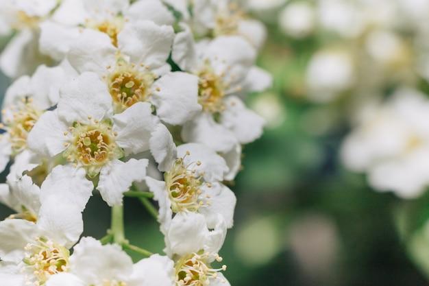 Flores brancas da cereja de pássaro. close-up macro. copie o espaço. folhagem verde no fundo.