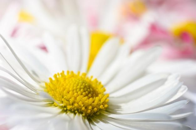 Flores brancas daisy com um núcleo amarelo e pétalas de rosa