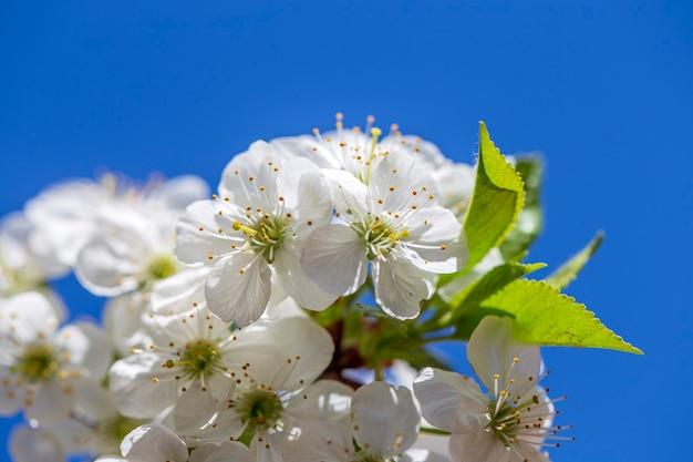 Flores brancas das flores de cerejeira em um dia de primavera no céu azul