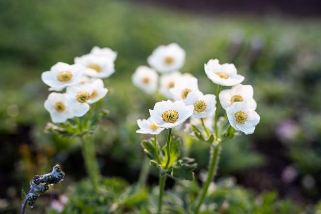 Flores brancas de anêmona em close-up em uma superfície verde