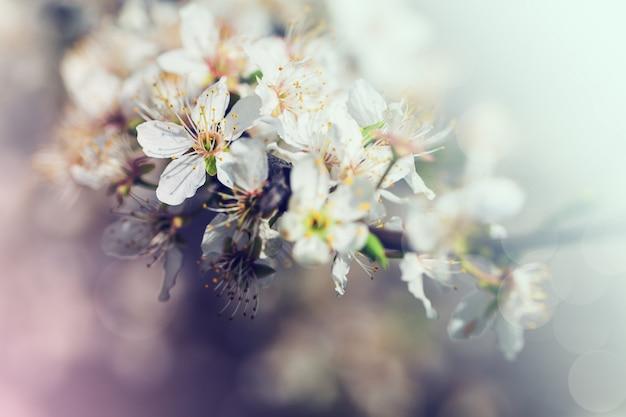 Flores brancas de cereja