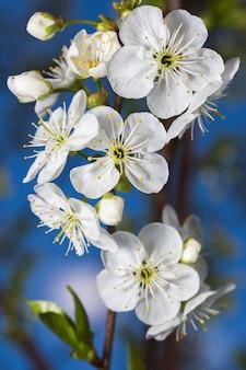 Flores brancas de cerejas