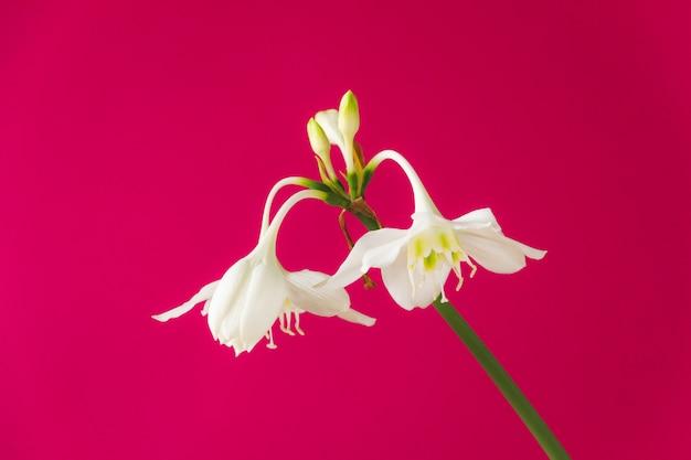 Flores brancas de eucharis amazonica (lírio da amazônia) em rosa