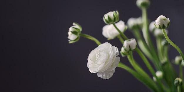 Flores brancas de flor ranúnculo no escuro com espaço de cópia, natureza morta de delicadas flores desabrochando.