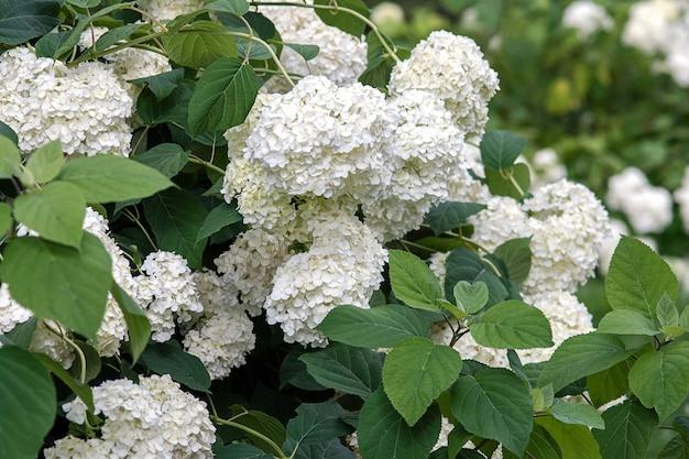 Flores brancas de hortênsia em jardim de verão