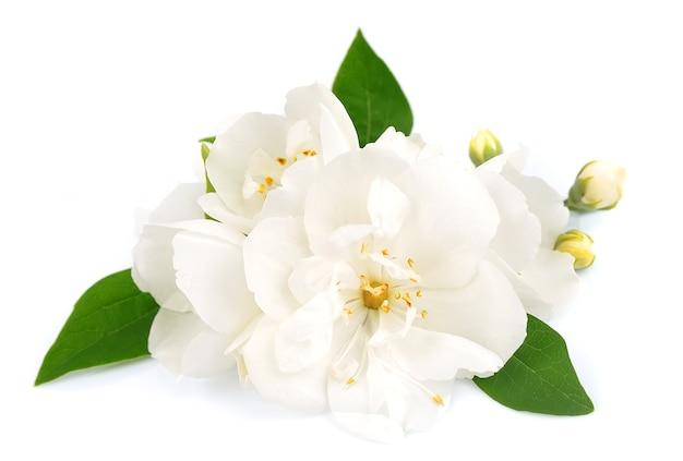 Flores brancas de jasmim no branco