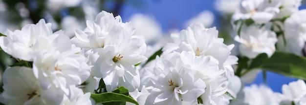 Flores brancas de jasmim no jardim contra o céu azul