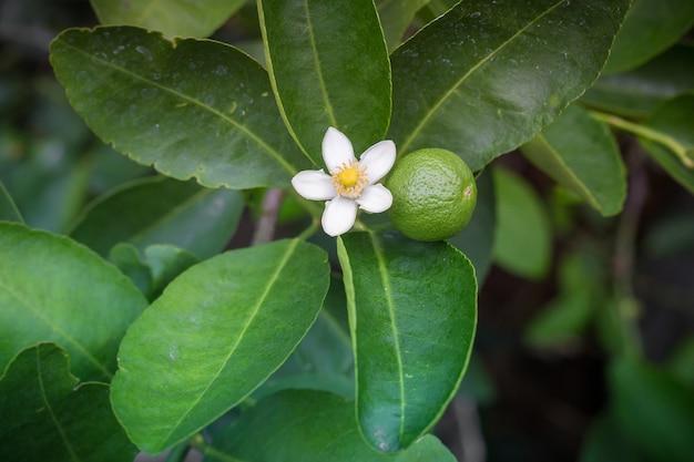 Flores brancas de lima e lima, frescas e perfumadas na árvore de lima.