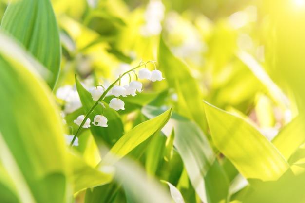 Flores brancas de lírio do vale com folhas verdes