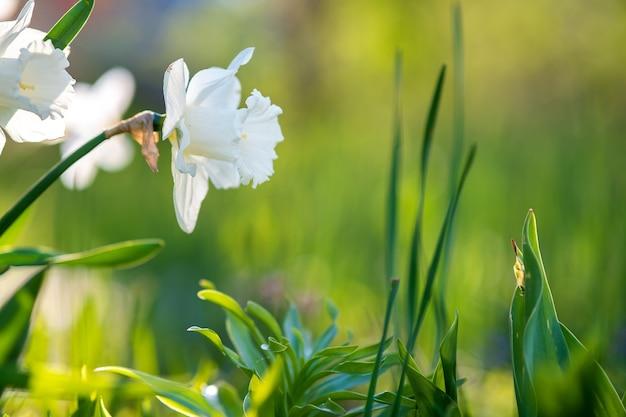 Flores brancas de narciso tenro florescendo no jardim primavera.