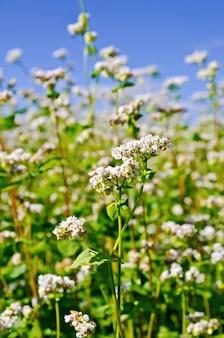 Flores brancas de trigo sarraceno no fundo de folhas verdes e céu azul