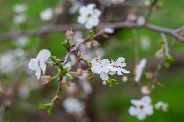 Flores brancas delicadas e folhas novas em um galho de uma macieira