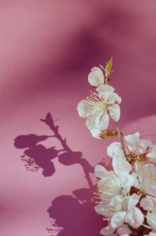 Flores brancas do abricó no fundo cor-de-rosa.