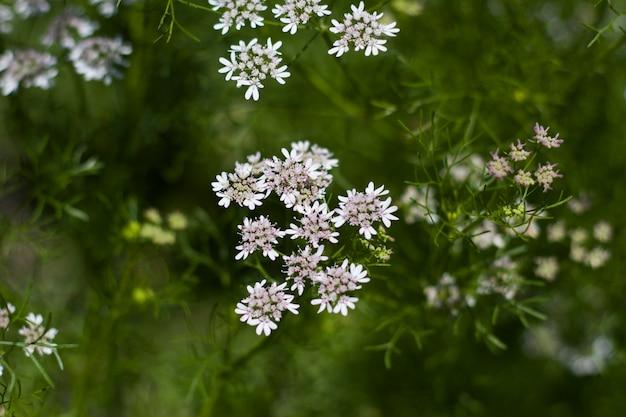 Flores brancas do coentro no jardim orgânico