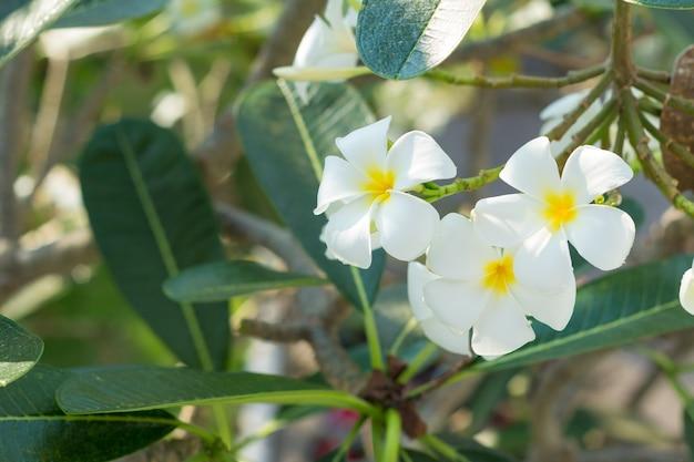 Flores brancas do plumeria