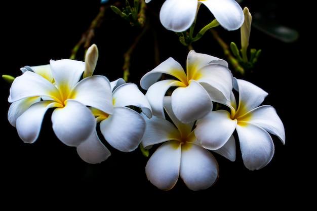 Flores brancas e amarelas de plumeria em uma árvore